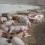 Xử lý nước thải chăn nuôi lợn (heo)