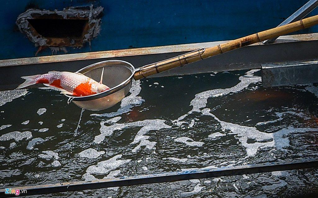 Cá Koi chết nổi trên mặt sông